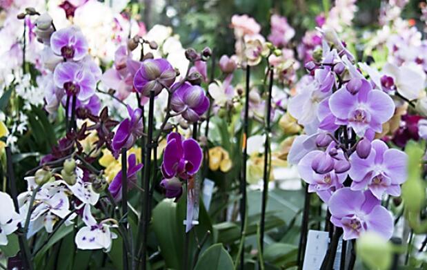 Orquídea Natural (2 tallos)