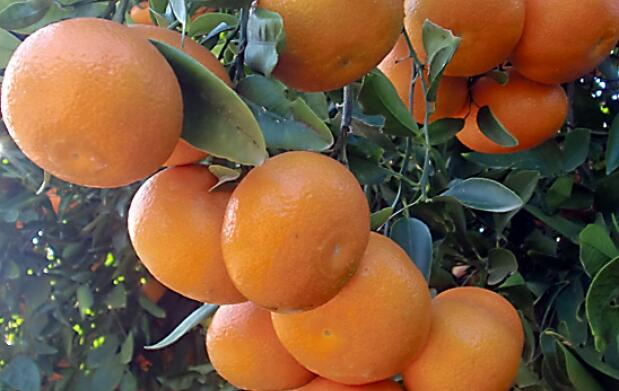 Caja de Mandarinas Clemenpons