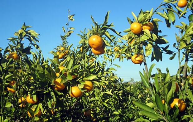 15 Kg de mandarinas gourmet (Clemenules)