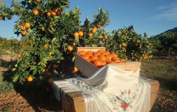 Naranjas de mesa o zumo. Caja 16 kg