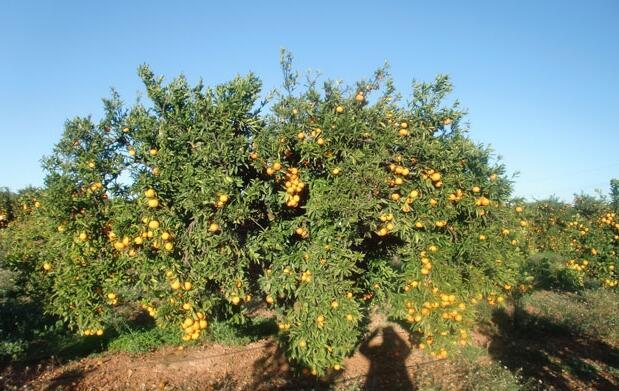 Naranjas Navel Powel, caja 16 kgs.