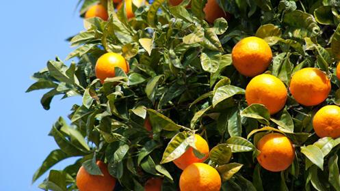 Caja de naranjas a domicilio