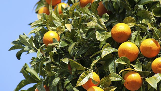 10 Kg de naranjas de Valencia de zumo o mesa o caja combinada con aguacates